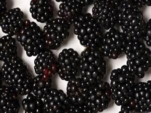 20 BLACKBERRY SEEDS FREE USA SHIPPING