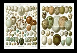 Eggs of European birds ... 2 Antique lithographs...1894 $45.00