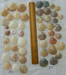 Last Lot Pink Blue SCALLOPS SEA SHELLS Arts Crafts Nautical Decor
