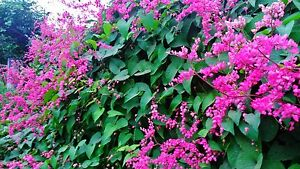 25 fresh  SEEDS*ANTIGONON LEPTOPUS*CHAIN OF LOVE*MEXICAN CREEPER*free shipping*