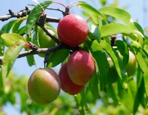 (2)Chickasaw Plum Trees/ Wild Plum/ Florida Hog Plum. Fruit, survival, homemade