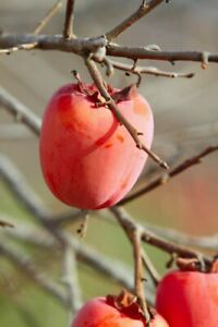 SUGAR PLUM, WILD Persimmon tree, common persimmon LIVE SEEDLING 15-24