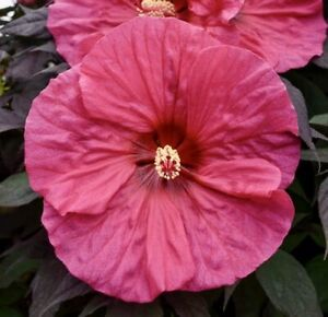 EVENING ROSE Hardy Hibiscus -- Plant in 4.5