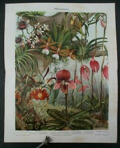 Antique 1896 German Chromolithograph ORCHIDEEN ORCHID Print $22.45