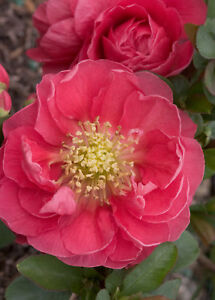 Double Take™ Chaenomeles Pink Storm PPAF Flowering Quince Proven Winners $11.99