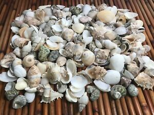 Medium Mixed Seashells, Assorted Craft Shells Mix 1 2 200 pcs 1 Kilo Lot# 1013