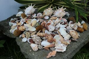 Huge Lot of Seashells 5 LBS Sea Shells Best Price Free Ship