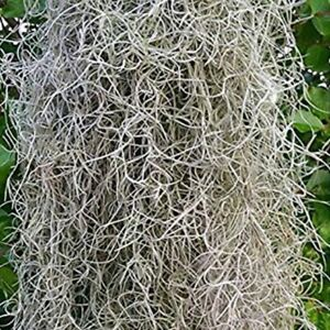 5 gallons of live Spanish moss from South Louisiana