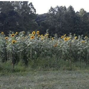Russian giant sunflower seeds. 100 Seeds Per Pack. Great For Photography