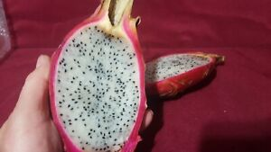 Live Dragon Fruit tree Rooted Plant