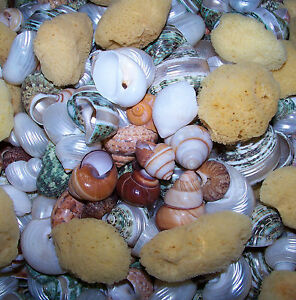 10 ASSORTED SNAIL & TURBO SHELLS HERMIT CRAB & SPONGE CRAFTS WEDDING DECOR