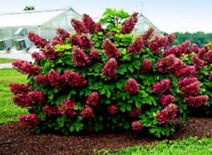HYDRANGEA RUBY SLIPPERS PLANT APPROX 10 INCH 4 POT