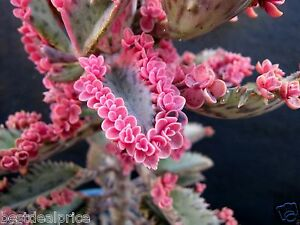 Succulent 2 Leaf Cuttings PINK BUTTERFLY KALANCHOE