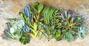 20 Assorted Succulent Cuttings - 20 Varieties with Instructions