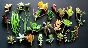20 Mini Succulents Cuttings various color - ALL DIFFERENT 1