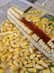 Pencil Cob Open-Pollinated Dent Corn Garden Seed 1/4 lb Approx. 300+ seeds!