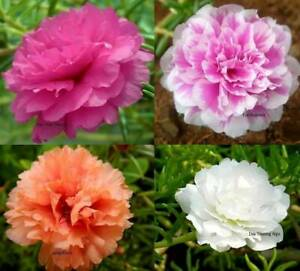 Moss Rose Double Flower Mix Seeds Open Pollinated B79 $1.79