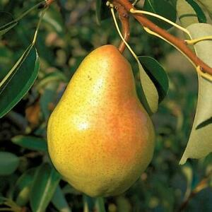 10 Bartlett pear tree cuttings scions rooting grafting Fruit Tree - NO ROOTS