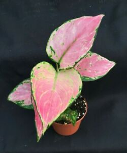 Aglaonema #x27;Favonian#x27; Chinese Evergreen Colorful Low Light Plant in 3quot; Pot. $24.95