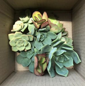 🌱 10 Succulent Plant Cuttings Variety Free Shipping 🌵