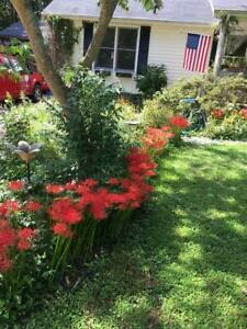 Red Spider Perennial Lily Flower Absolutely Beautiful 15 Seeds USA Seller $2.99