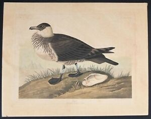 Audubon Original 1835 Hand Colored Lithograph Of Jager Hunting Bird 20quot; X 26quot; $2000.00