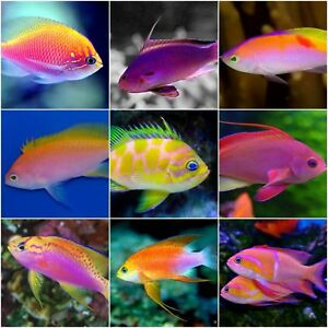x5 ASSORTED ANTHIAS PACKAGE - SMMD - FISH SALTWATER - FREE SHIPPING