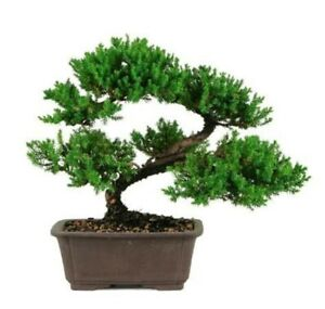 Japanese Juniper Bonsai Tree   LIVE TREE makes a GREAT GIFT !