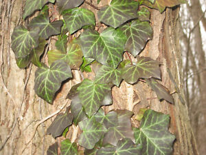 LIVE English Ivy Cuttings 10ft. total aggregate length w/Roots READY TO PLANT