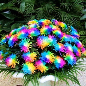 500Pcs Rare Rainbow Chrysanthemum Flower Seeds Home Garden Bonsai Plant Decor de