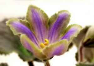 African Violet leaves LE-SAPFIRA 'Sapphire' - Variegated Standard, Rarely Seen!