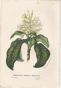 c1850 Two Van Houtte Antique Lithographs Plants native to Java Indonesia $10.00