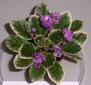 African violet Grape Treat live plant in pot $10.99