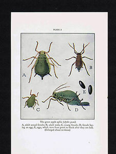 Aphis pomi Green Apple Aphis 1934 Scientific Print $10.99