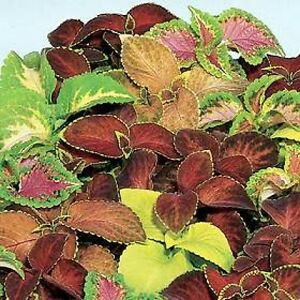 Flower Seed: Kaleidoscope Coleus 50 Seeds Fresh Seed  FREE Shipping