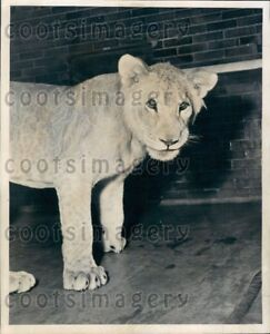 1952 Wire Photo Samson The Lion Lincoln Park Zoo Chicago