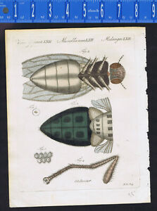 Housefly Fly Under Microscope 1805 Bertuch Hand Colored