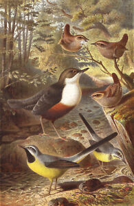 Dipper Wagtails  Birds Chromolithograph late 19th Century