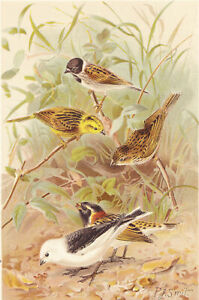 Buntings  Birds Chromolithograph 1880's