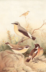 Stonechat Whinchat Wheatear  Birds Chromolithograph 1880's