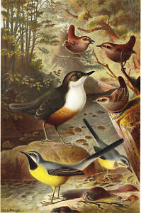 Dipper Wagtails & Wrens Birds chromolithograph c1885
