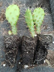 4 LIVE CACTUS WEST TEXAS PRICKLY PEAR CACTUS - OPUNTIA LINDHEIMERI - COLD HARDY