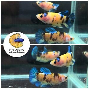 Yellow Galaxy Koi Female Halfmoon Plakat Betta Fish *ONE FISH* $30.00