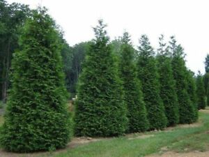 10 Green Giant Arborvitae in 3 cups