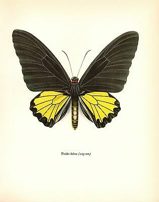 1963 Vintage PROCHAZKA BUTTERFLY THE HELENA BIRDWING GORGEOUS COLOR Lithograph