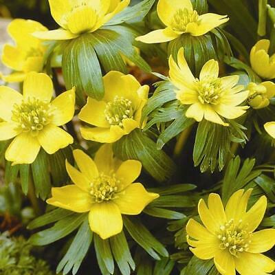 Winter Aconite Eranthis Spring Garden Bulbs WPC Prins Quality Pack x20