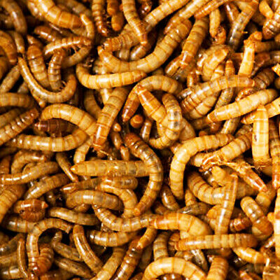 Mealworms Live 100-2000 count