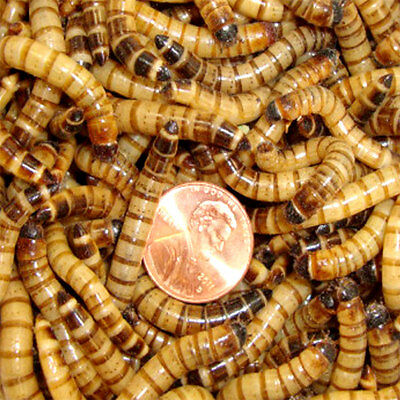 Live Superworms Large Size-Apx-1-75 o 2 inches 100 to 1000 Counts By Gimminy