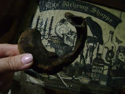 TWISTED LITTLE GOAT HORN small curled TAXIDERMY CRAFTS occult