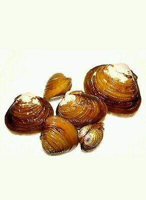 5 Live Freshwater Clams Pond Aquarium Filter Feeders Water Clarifier CaptiveBred